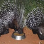Porcupine family meal